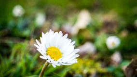 De bloem van Margarita royalty-vrije stock afbeeldingen