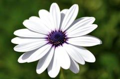De bloem van Margarita Royalty-vrije Stock Foto's
