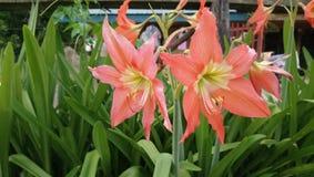 De bloem van Mayo Mayo royalty-vrije stock foto