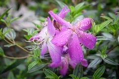 De bloem van Melastomamalabathricum Royalty-vrije Stock Fotografie
