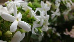 De bloem van Melati Royalty-vrije Stock Foto's