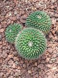 De bloem van de Mickeycactus Royalty-vrije Stock Afbeeldingen