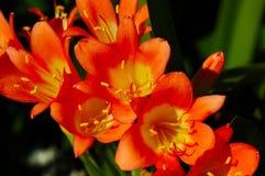 De bloem van Miniata van Clivia Stock Afbeeldingen
