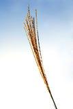 De bloem van Miscanthus Stock Foto