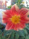 De bloem van de Moonfiedahlia royalty-vrije stock afbeelding