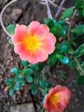De bloem van Moss Rose of Portulaca- Stock Fotografie