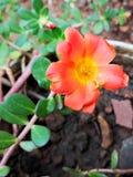 De bloem van Moss Rose of Portulaca- Royalty-vrije Stock Afbeeldingen