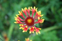 De bloem van Multy stock fotografie