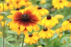 De bloem van Mum Stock Foto