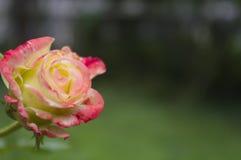 De bloem van nam met bloemblaadjes van limoono-roze kleur van kleur 1 toe Royalty-vrije Stock Afbeeldingen