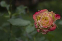 De bloem van nam met bloemblaadjes van limoono-roze kleur van kleur 3 toe Royalty-vrije Stock Foto