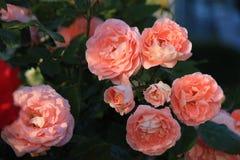 De bloem van nam toe Royalty-vrije Stock Foto's