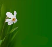 De bloem van narcissen Stock Foto