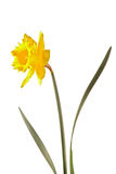 De bloem van narcissen royalty-vrije stock fotografie