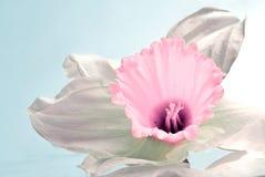 De bloem van narcissen Stock Fotografie