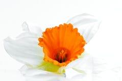 De bloem van narcissen Royalty-vrije Stock Afbeelding