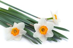 De bloem van de narcissenlente op wit Royalty-vrije Stock Afbeelding