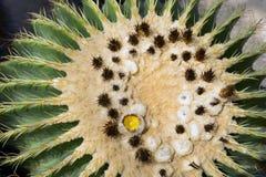 De Bloem van Notocactusmammulosus Stock Foto's