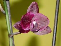De bloem van Orchidea Stock Afbeelding