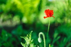 De bloem van de papaver Close-up op groene achtergrond Bloesem, de lente, bloemen, papavers Oranje papaverbloem Stock Foto