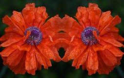 De bloem van de papaver Scharlaken bloemblaadjes zoals zeilen Royalty-vrije Stock Afbeelding