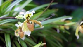De bloem van de Paphiopedilumorchidee of de orchidee van de Dame` s Pantoffel, stock footage