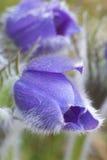 De bloem van Pasque Stock Afbeeldingen