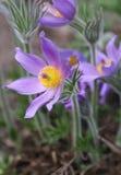 De bloem van Pasque Royalty-vrije Stock Foto's