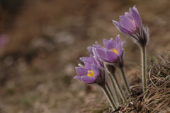De bloem van Pasque - Pulsatilla Stock Fotografie