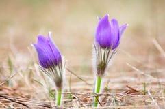 De bloem van Pasque, Pulsatilla patens Royalty-vrije Stock Foto's