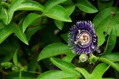 De bloem van passiebloemfoetida Royalty-vrije Stock Afbeeldingen