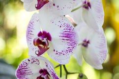 De bloem van de Phalaenopsisorchidee Royalty-vrije Stock Foto