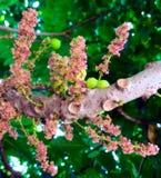 De bloem van Phyllanthusacidus Royalty-vrije Stock Afbeeldingen