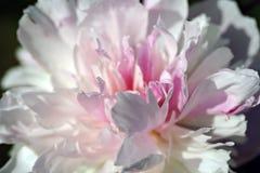 De bloem van pioenlactiflora Royalty-vrije Stock Afbeelding