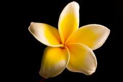 De bloem van Plumeria Stock Afbeeldingen
