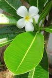 De bloem van Plumeria Royalty-vrije Stock Afbeeldingen