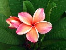 De bloem van Plumeria Stock Afbeelding