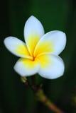 De bloem van Plumeria stock foto's