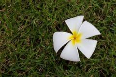 De bloem van Plumeria, Frangipani Stock Foto