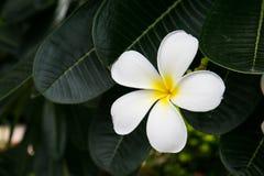 De bloem van Plumeria op boom Royalty-vrije Stock Afbeelding