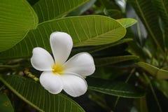 De bloem van Plumeria op boom Royalty-vrije Stock Foto