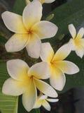 De bloem van Plumeriachampa Royalty-vrije Stock Afbeeldingen