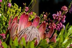 De bloem van Protea Stock Foto's