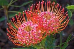 De Bloem van Protea van het speldenkussen Stock Afbeelding