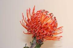 De bloem van Protea van Pincusion Stock Foto