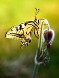 De bloem van Pulsatilla met vlinder Stock Afbeelding