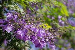 De bloem van Purprlelapacho royalty-vrije stock afbeeldingen