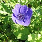 De bloem 2007 van Ramatgan park crown anemone Stock Afbeeldingen