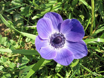 De bloem 2007 van Ramatgan park purple crown anemone stock foto's