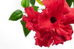 De bloem van rosa-Sinensis in waterdruppeltjes Royalty-vrije Stock Foto's